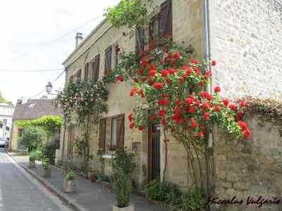 Auvers-sur-Oise (86 miccalus vulgaris).jpg