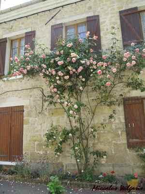 Auvers-sur-Oise (87 miccalus vulgaris).jpg