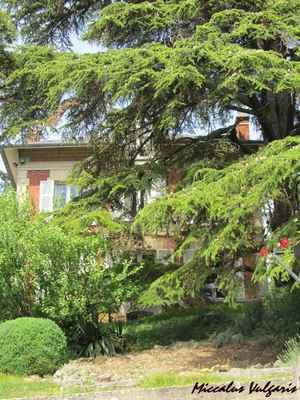 Auvers-sur-Oise (90 miccalus vulgaris).jpg