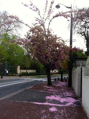 フランスの桜.jpg