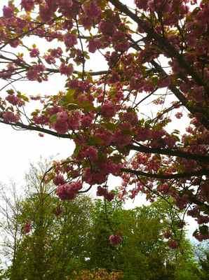 フランスの桜2.jpg