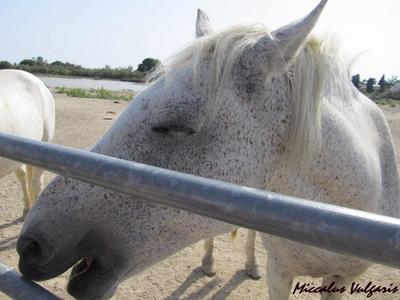 cheval camargue MV.jpg