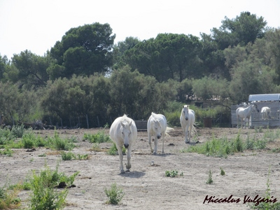 chevaux blancs de Camargue (2) MV.jpg