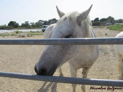 chevaux blancs de Camargue (3) MV.jpg