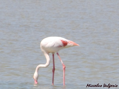 flamant rose (10) MV.jpg