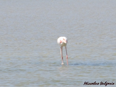 flamant rose (13) MV.jpg