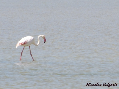 flamant rose (14) MV.jpg