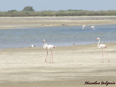 flamant rose (3) MV.jpg