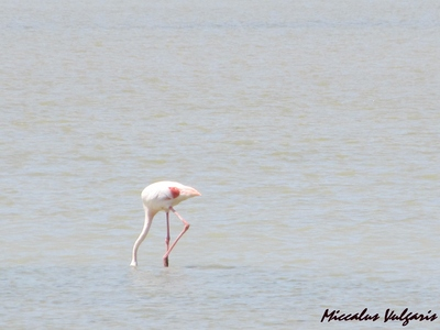 flamant rose (5) MV.jpg
