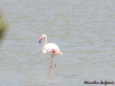 flamant rose (6) MV.jpg