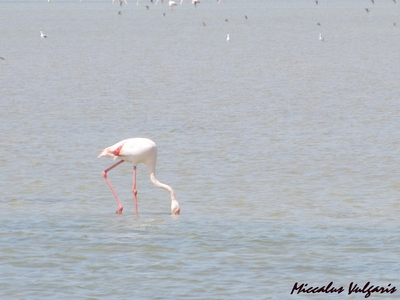 flamant rose (8) MV.jpg