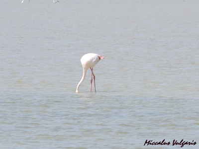 flamant rose (9) MV.jpg